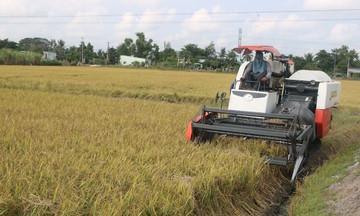 Giá lúa xuống thấp vì thương lái không đến mua