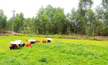 Nông dân Bình Hòa Nam khấm khá từ trồng rau má