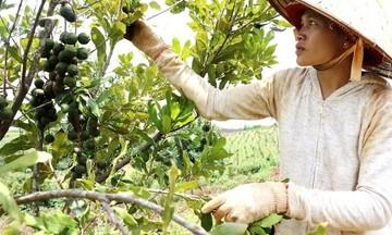 Giảm nghèo ở vùng dân tộc thiểu số tại Đăk Nông (Bài 2): Khai thác thế mạnh sản phẩm đặc trưng