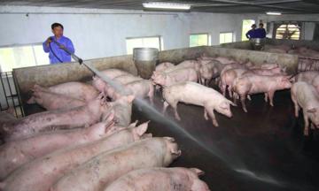 Giá lợn hơi giảm gần một nửa so với mức đỉnh vào giữa năm 2020