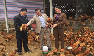 HTX Hương Nhượng nuôi gà sinh học an toàn 'đẻ trứng vàng'