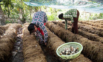 Khởi sắc nghề trồng nấm của người Khmer ở Ngọc Chúc