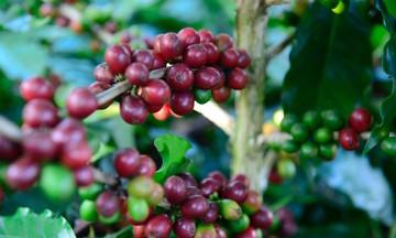Nhiều cơ hội cho xuất khẩu cà phê trong bối cảnh COVID-19