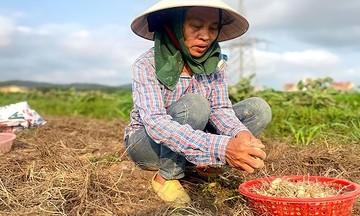 HTX Nghi Lâm trồng hành tăm nhỏ xíu kiếm tiền tỷ