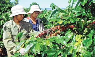 Dịch COVID-19 tác động tiêu cực tới xuất khẩu cà phê