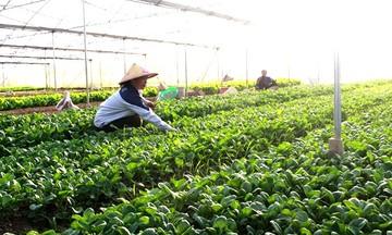 Thu rau sạch nhờ sản xuất 'xanh' ở Y Can