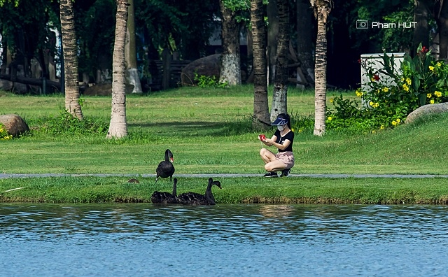 """<p class=""""Normal""""> Theo đại diện ban quản lý khu đô thị, sau thời gian dài chăm sóc, thuần chủng, những con chim thiên nga rất dạn người, tự do bơi lội và sẵn sàng đón nhận thức ăn từ cư dân.</p>"""
