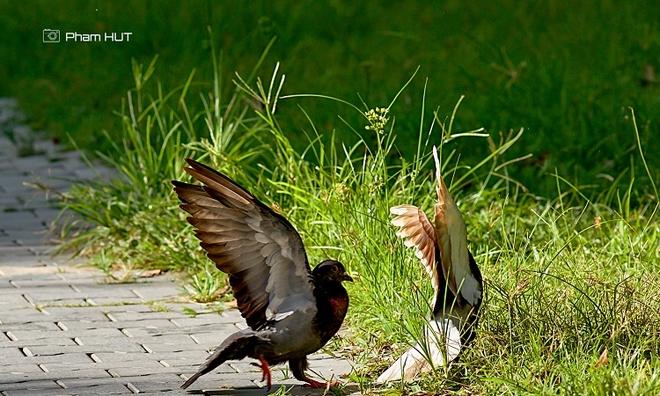 """<p class=""""Normal""""> Cặp chim bồ câu tự do bay nhảy, tìm kiếm thức ăn trên vỉa hè.</p>"""