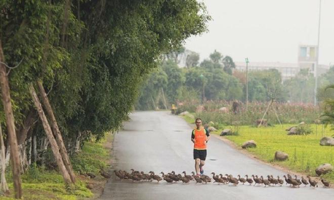 """<p class=""""Normal""""> Dọc đường dạo bộ 5 giác quan ven hồ, cư dân còn thường xuyên bắt gặp những đàn vịt trời hàng chục con chạy tung tăng qua đường kiếm ăn.</p>"""
