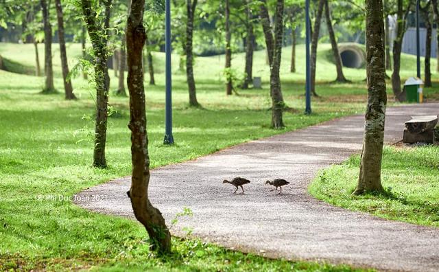 """<p class=""""Normal""""> Vào buổi sáng hoặc lúc chạng vạng, cư dân tại đây còn thường xuyên thấy những đàn chim cuốc """"dạo bộ"""". Các đàn cuốc cũng sinh trưởng nhiều lứa ở đây.</p>"""