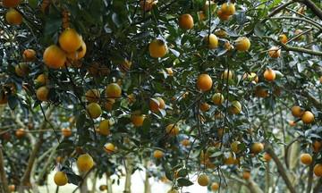 Tìm đầu ra cho quả cam Cao Phong