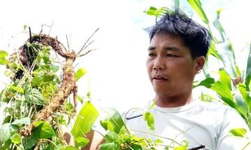 Hướng đi mới của người Cơ Tu ở Quảng Nam (Bài 3): Đổi đời cùng HTX trồng cây đẳng sâm