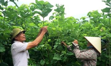 Hiệu quả từ chính sách giảm nghèo ở Bảo Yên (Bài cuối): Phát triển vùng sản xuất nông nghiệp hàng hóa tập trung