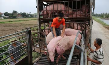 Giá lợn hơi vẫn ở mức thấp, thêm mối lo từ thị trường Trung Quốc
