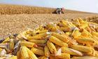 Đề xuất giảm thuế nhập khẩu ngô, lúa mì để 'hạ nhiệt' thức ăn chăn nuôi