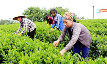 Chè hữu cơ Phú Đô 'lên hương' nhờ sản xuất xanh