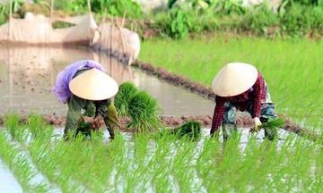 Đề xuất Chính phủ hỗ trợ 5.000 tấn lúa giống cho vụ Đông Xuân
