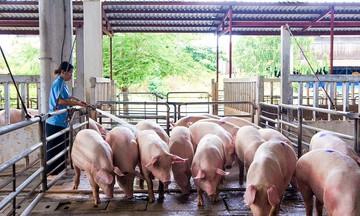 Giá lợn hơi dưới mốc 50.000 đồng/kg, nông hộ không muốn tái đàn
