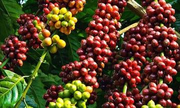 Giá cà phê trong nước quay đầu tăng 500 - 600 đồng/kg
