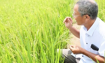 HTX Tăng Hòa: Lúa hữu cơ 'hồi sinh' trên cánh đồng hạn mặn