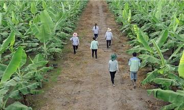 Đa lợi ích từ 'thủ phủ' chuối khép kín ở Thanh Bình