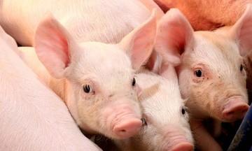 Giá heo hơi ở mức thấp nhất hơn 2 năm gây khó khăn cho người chăn nuôi