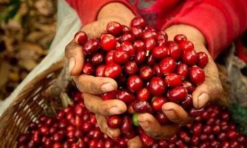 Giá cà phê đi ngang, người dân vẫn gặp khó trong thu hoạch, tiêu thụ
