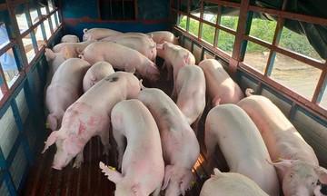 Giá lợn hơi hạ 'sát đáy', người chăn nuôi lỗ tới 2 triệu đồng mỗi con lợn