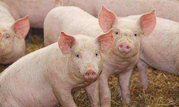 Giá lợn hơi bất ngờ tăng từ 1.000-5.000 đồng/kg